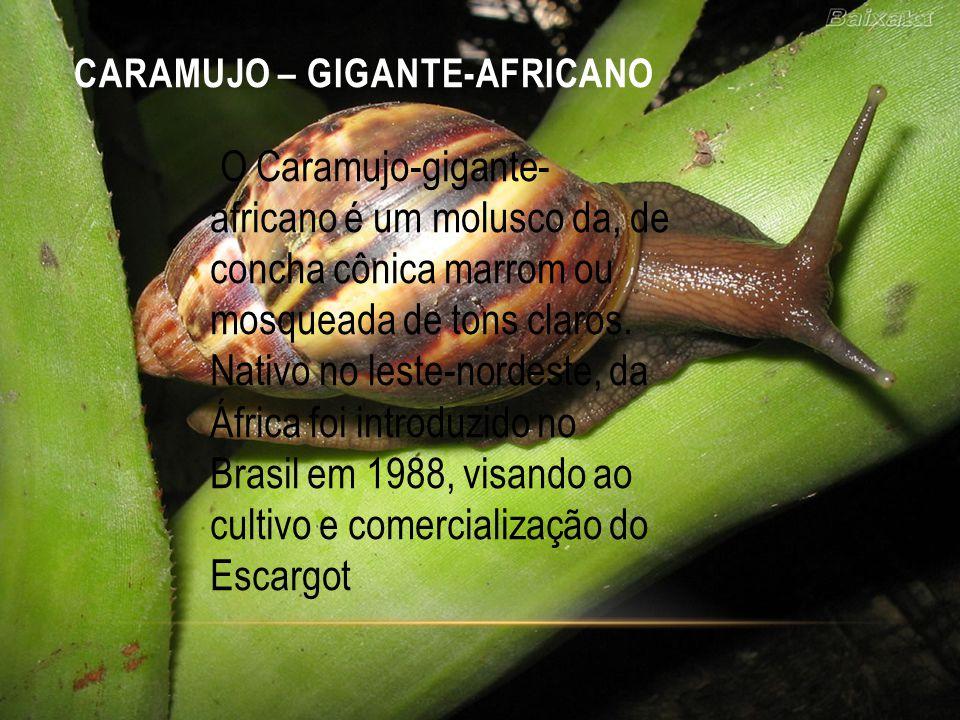 CARAMUJO – GIGANTE-AFRICANO