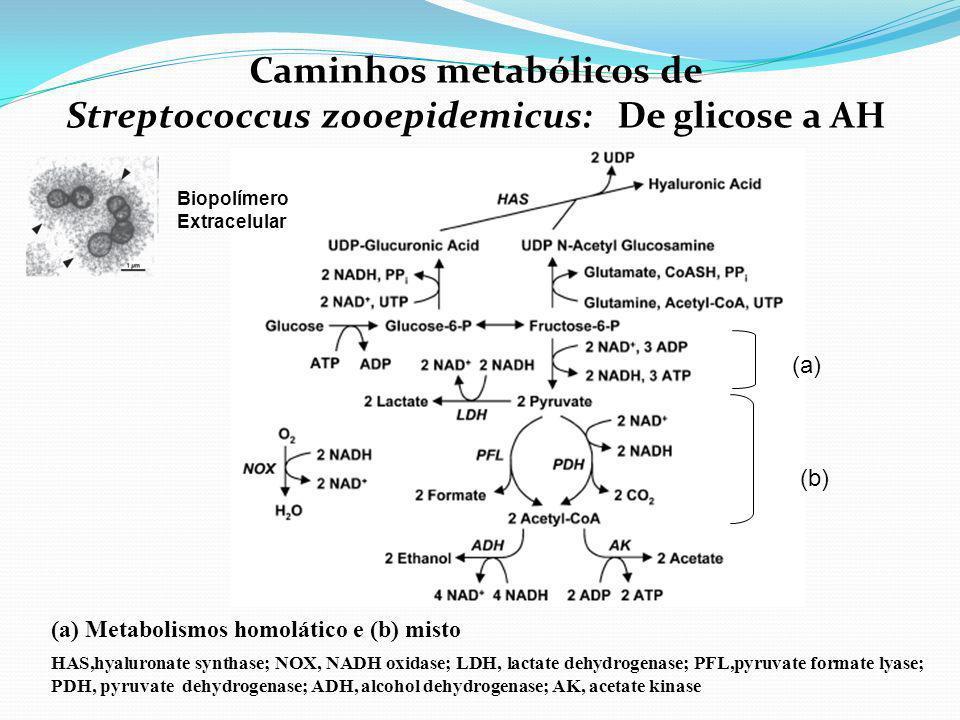 Caminhos metabólicos de Streptococcus zooepidemicus: De glicose a AH