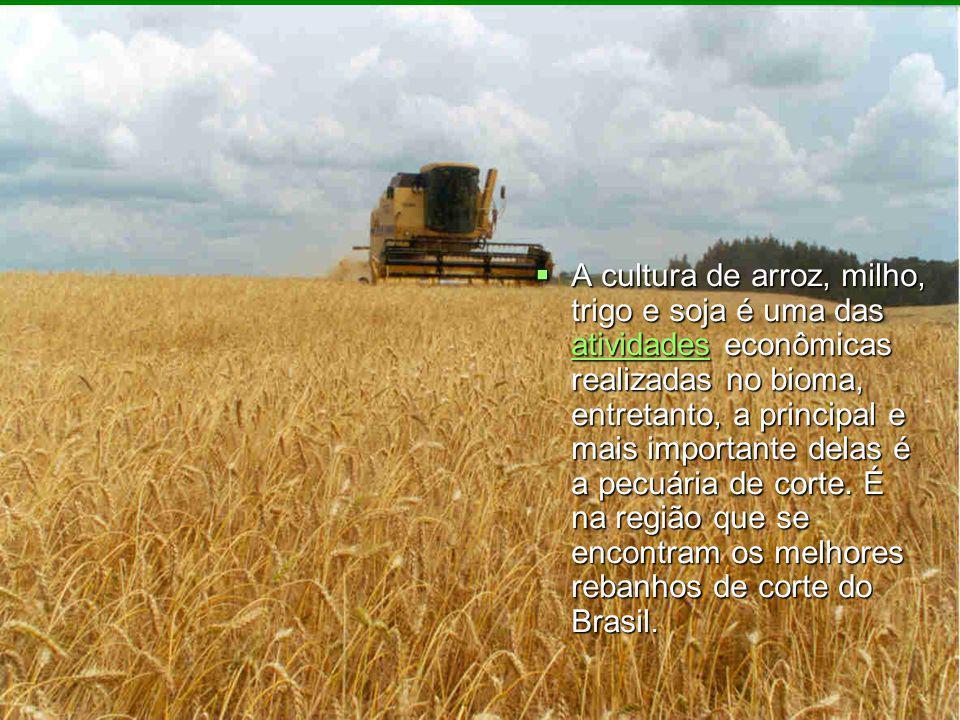 A cultura de arroz, milho, trigo e soja é uma das atividades econômicas realizadas no bioma, entretanto, a principal e mais importante delas é a pecuária de corte.