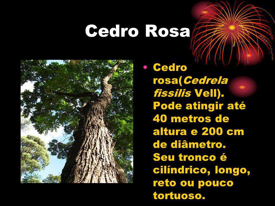 Cedro Rosa