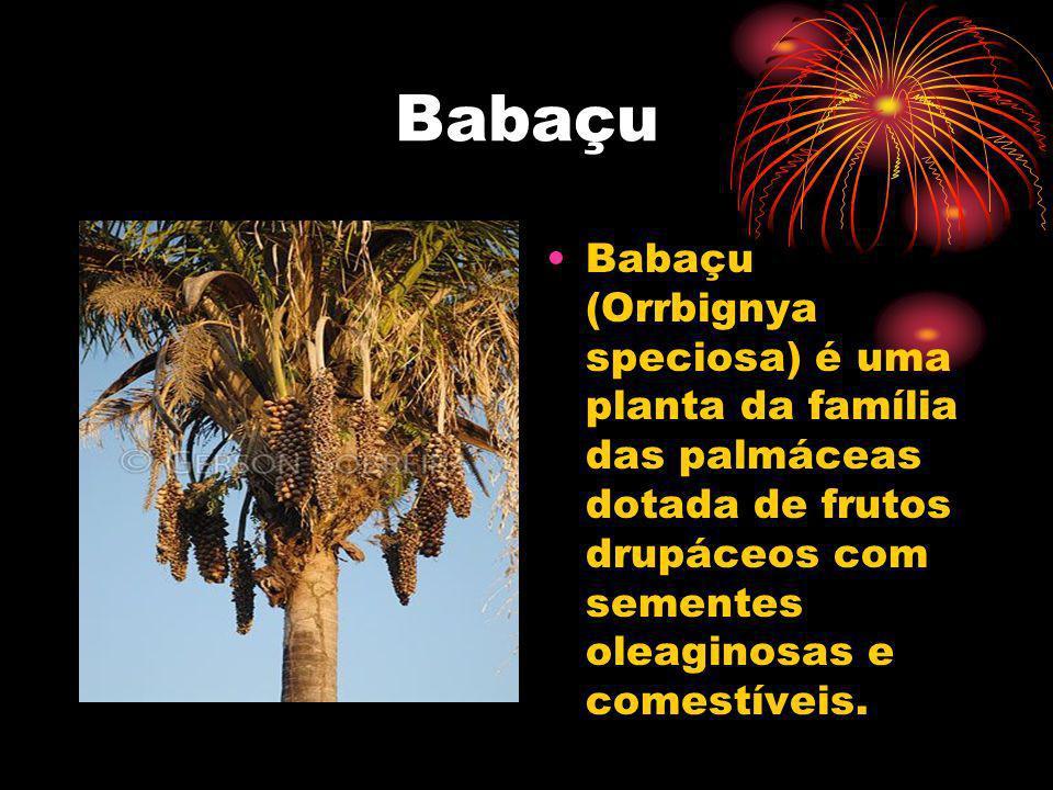 Babaçu Babaçu (Orrbignya speciosa) é uma planta da família das palmáceas dotada de frutos drupáceos com sementes oleaginosas e comestíveis.