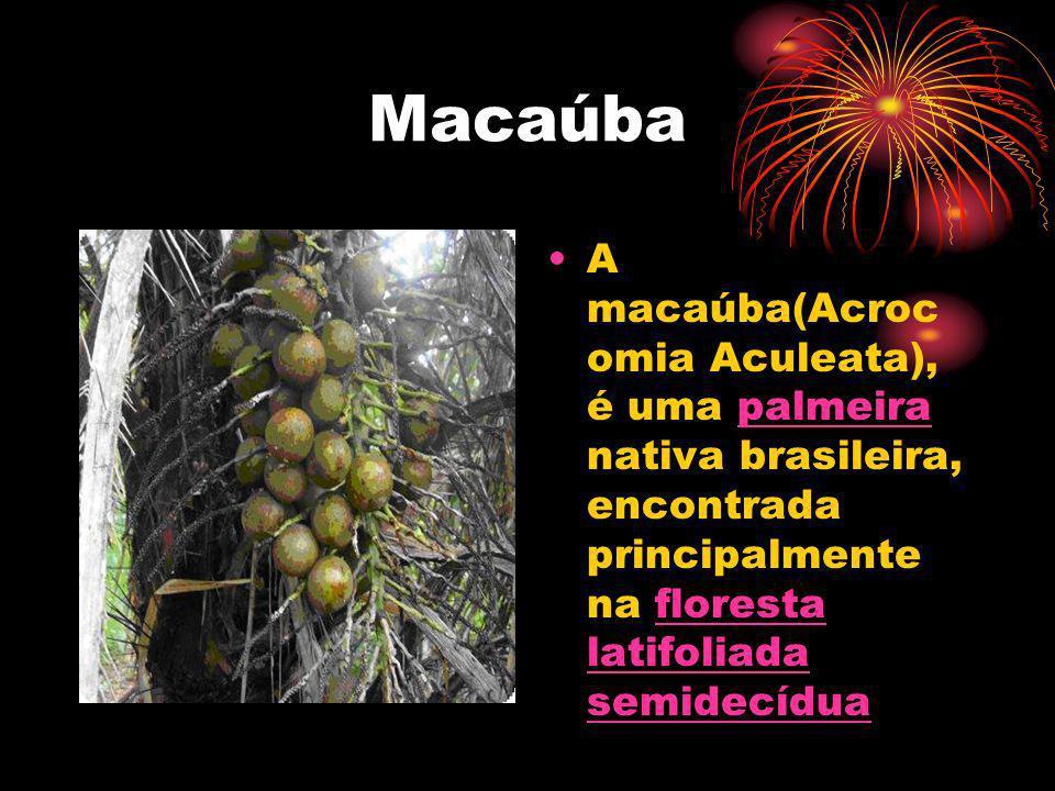 Macaúba A macaúba(Acrocomia Aculeata), é uma palmeira nativa brasileira, encontrada principalmente na floresta latifoliada semidecídua.