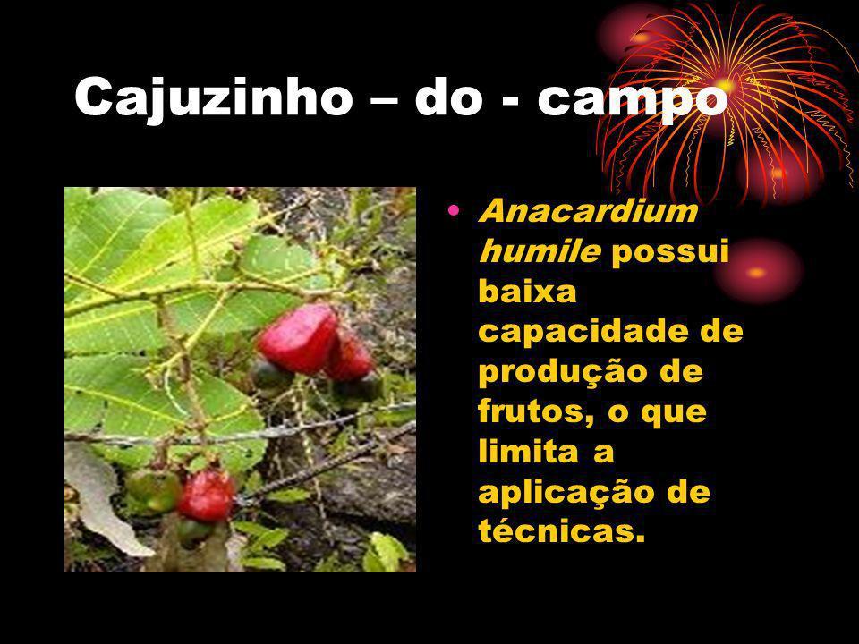 Cajuzinho – do - campoAnacardium humile possui baixa capacidade de produção de frutos, o que limita a aplicação de técnicas.