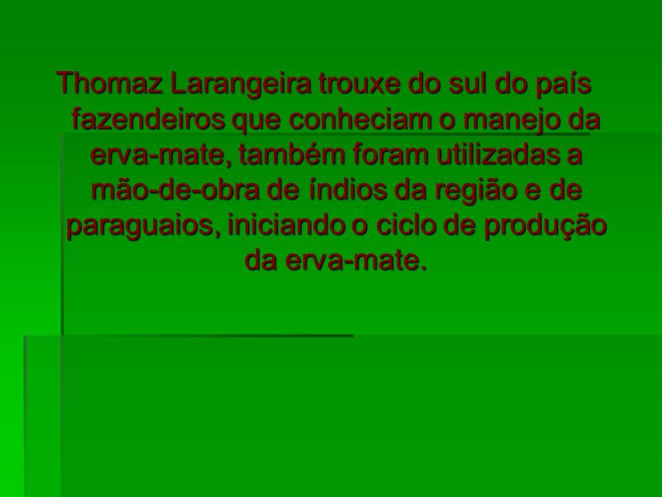 Thomaz Larangeira trouxe do sul do país fazendeiros que conheciam o manejo da erva-mate, também foram utilizadas a mão-de-obra de índios da região e de paraguaios, iniciando o ciclo de produção da erva-mate.