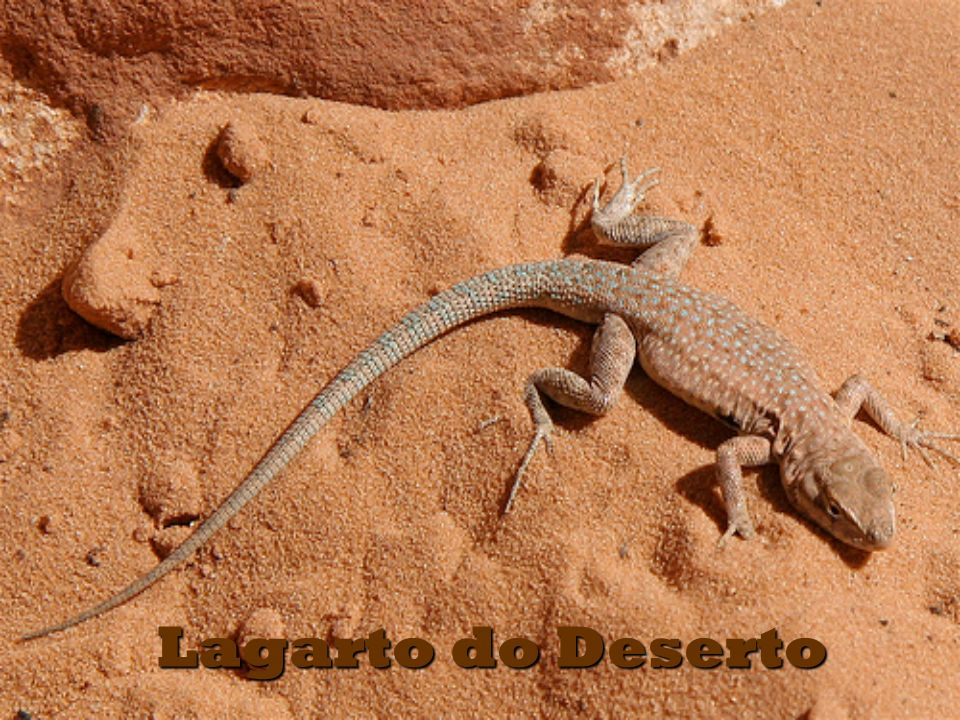 Lagarto do Deserto