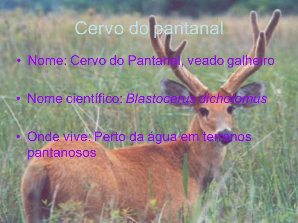 Nome: Cervo do Pantanal, veado galheiro