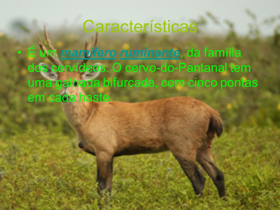 Características É um mamífero ruminante, da família dos cervídeos. O cervo-do-Pantanal tem uma galhada bifurcada, com cinco pontas em cada haste.