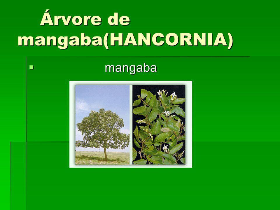 Árvore de mangaba(HANCORNIA)