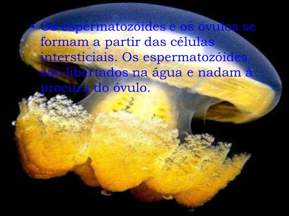 Os espermatozóides e os óvulos se formam a partir das células intersticiais.