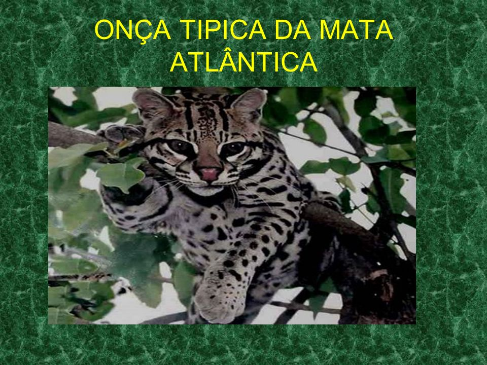 ONÇA TIPICA DA MATA ATLÂNTICA