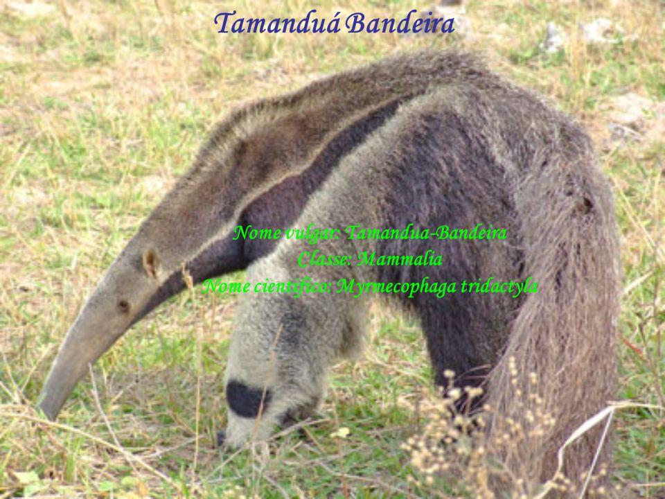 Tamanduá Bandeira Nome vulgar: Tamandua-Bandeira Classe: Mammalia Nome cientifico: Myrmecophaga tridactyla.