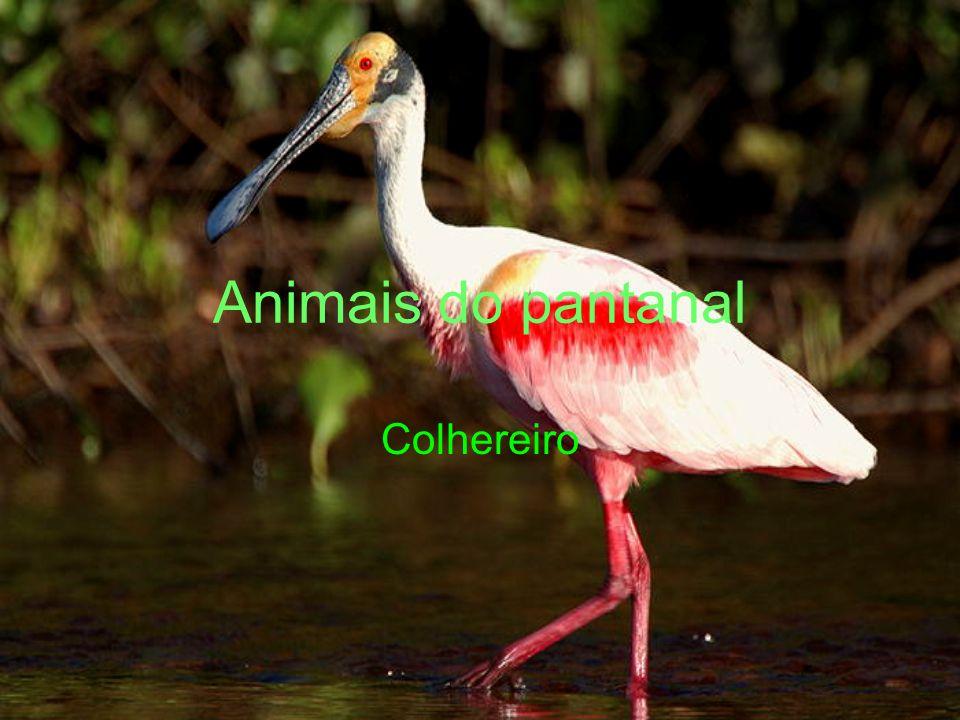 Animais do pantanal Colhereiro