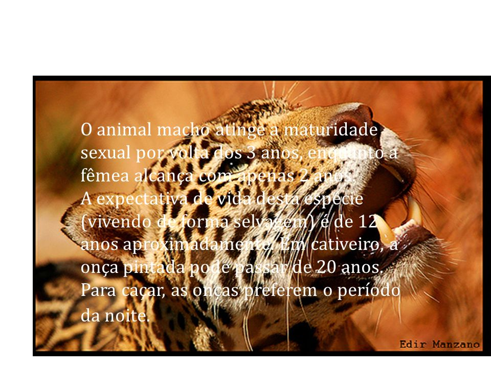 O animal macho atinge a maturidade sexual por volta dos 3 anos, enquanto a fêmea alcança com apenas 2 anos.