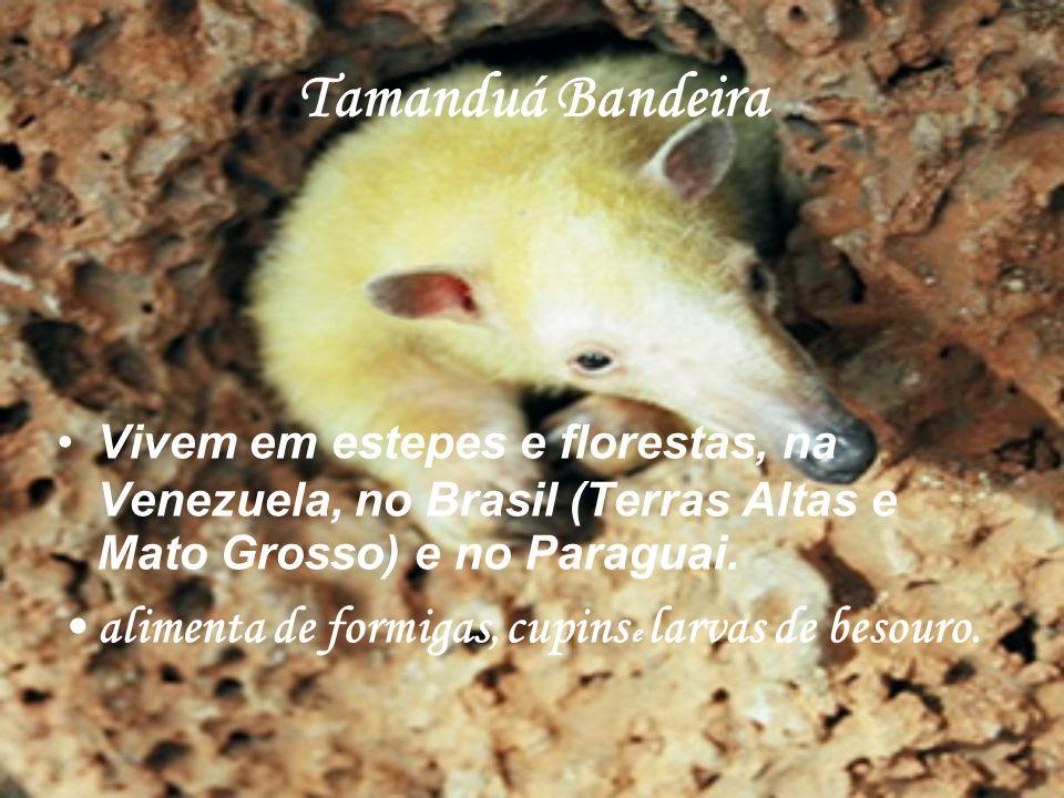 Tamanduá Bandeira alimenta de formigas, cupins e larvas de besouro.