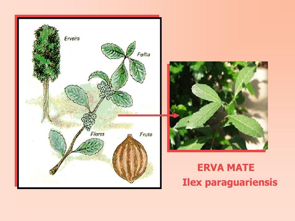 ERVA MATE Ilex paraguariensis