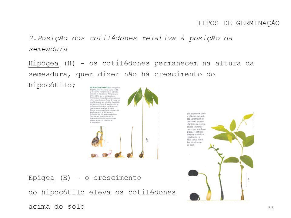 TIPOS DE GERMINAÇÃO 2.Posição dos cotilédones relativa à posição da semeadura.