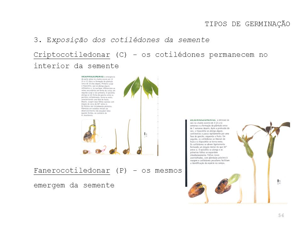 TIPOS DE GERMINAÇÃO 3. Exposição dos cotilédones da semente. Criptocotiledonar (C) - os cotilédones permanecem no interior da semente.