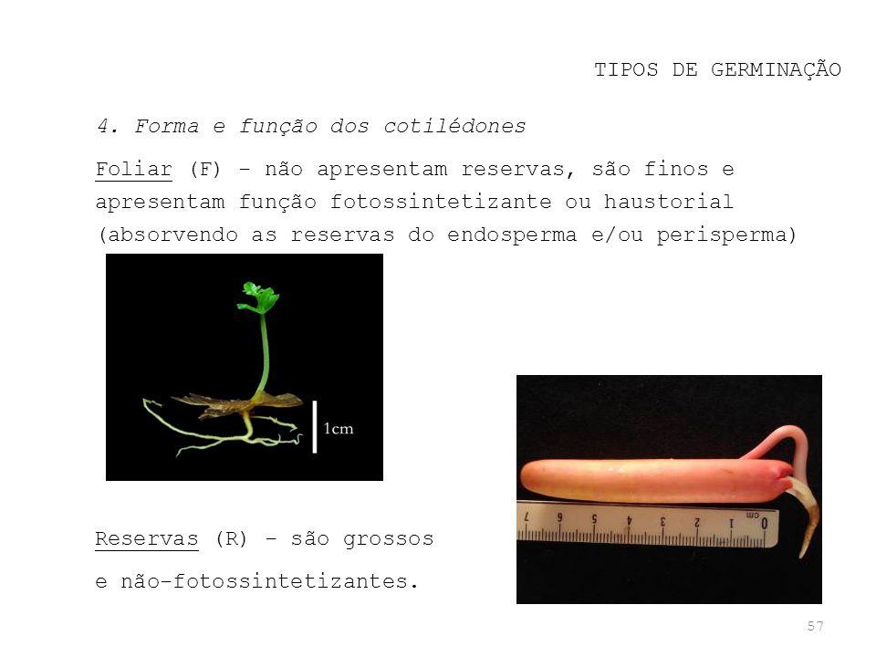 TIPOS DE GERMINAÇÃO 4. Forma e função dos cotilédones.