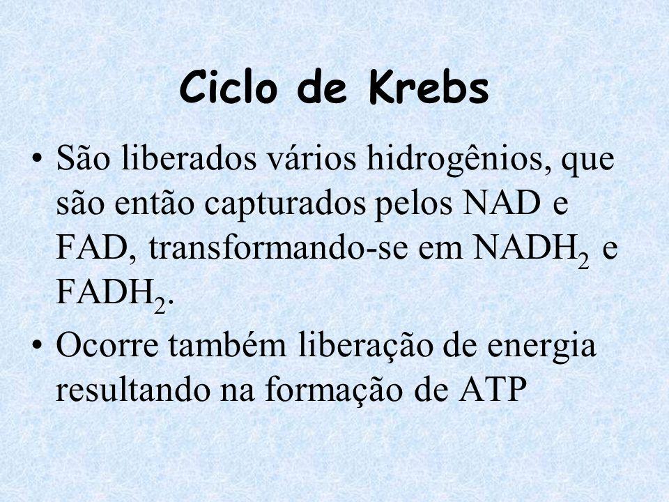 Ciclo de Krebs São liberados vários hidrogênios, que são então capturados pelos NAD e FAD, transformando-se em NADH2 e FADH2.