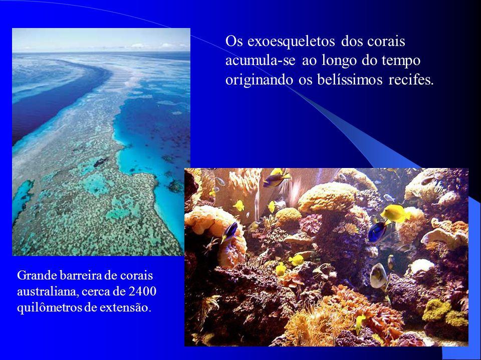 Os exoesqueletos dos corais acumula-se ao longo do tempo originando os belíssimos recifes.