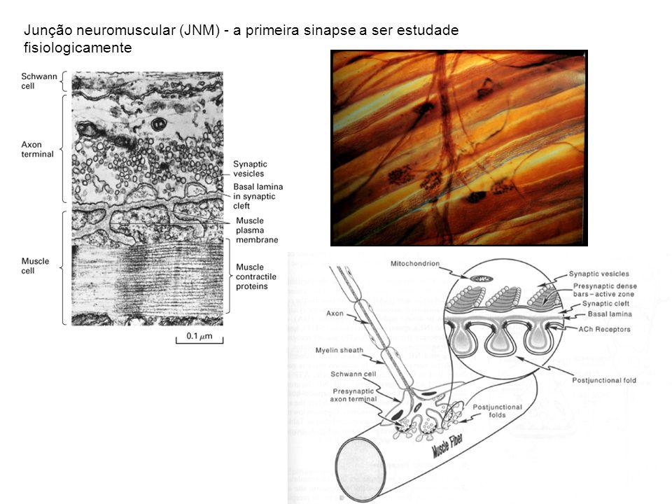 Junção neuromuscular (JNM) - a primeira sinapse a ser estudade fisiologicamente
