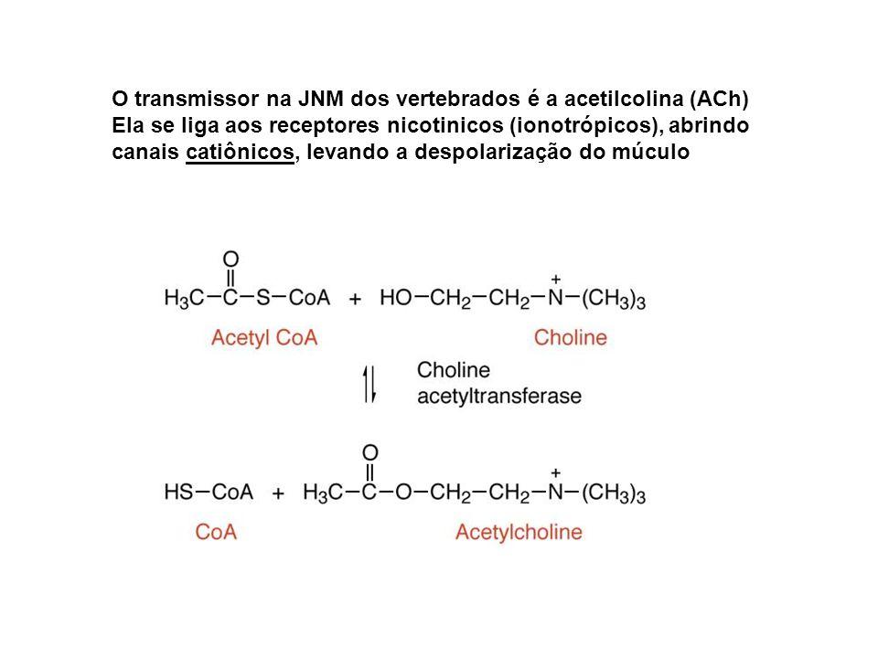 O transmissor na JNM dos vertebrados é a acetilcolina (ACh)