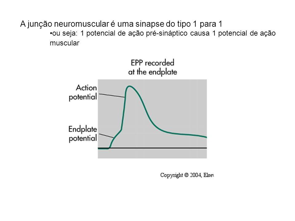 A junção neuromuscular é uma sinapse do tipo 1 para 1