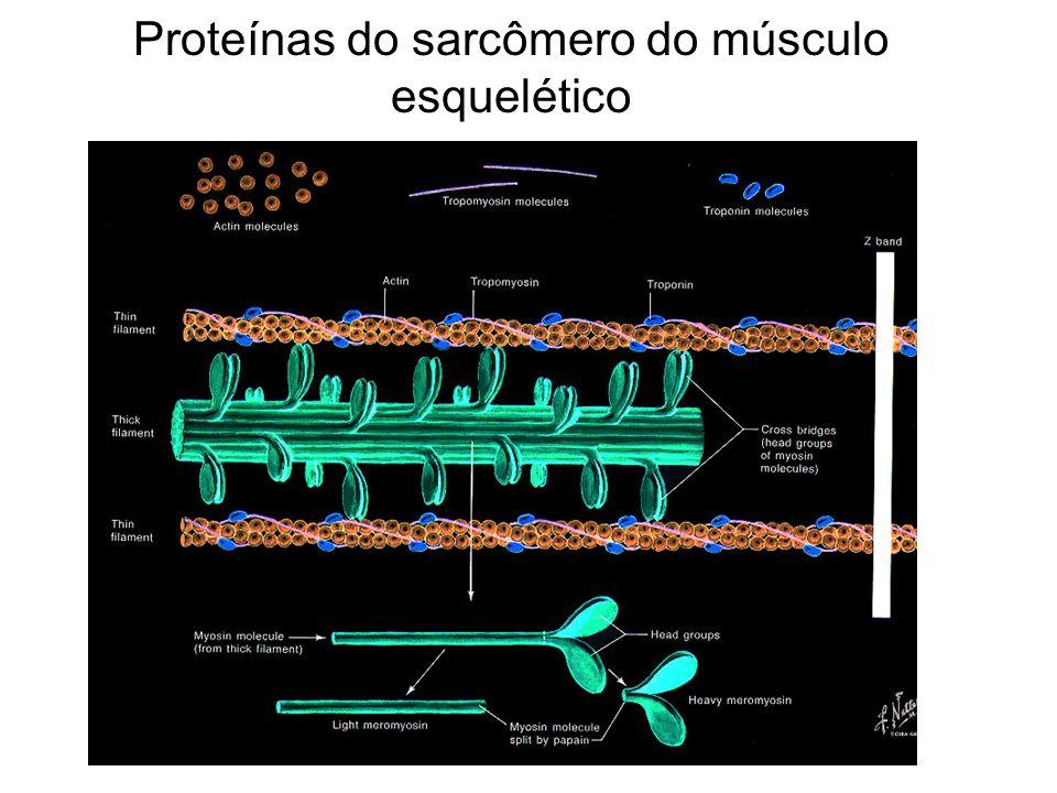 Proteínas do sarcômero do músculo esquelético