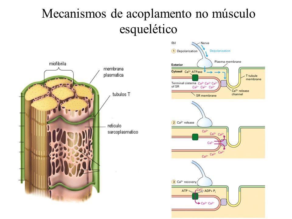 Mecanismos de acoplamento no músculo esquelético