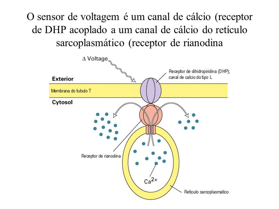 O sensor de voltagem é um canal de cálcio (receptor de DHP acoplado a um canal de cálcio do retículo sarcoplasmático (receptor de rianodina