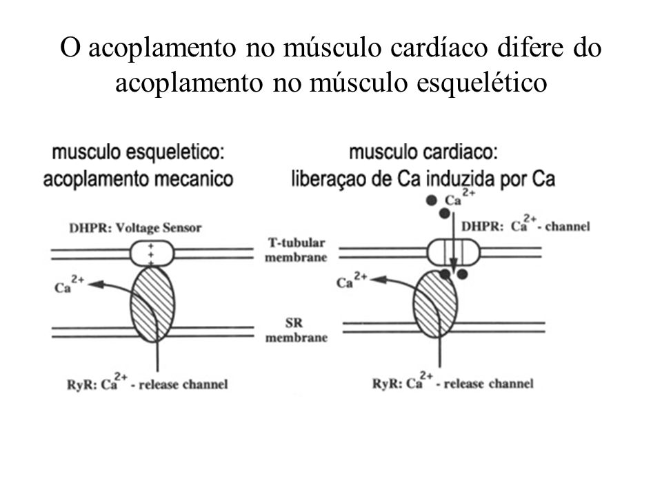 O acoplamento no músculo cardíaco difere do acoplamento no músculo esquelético