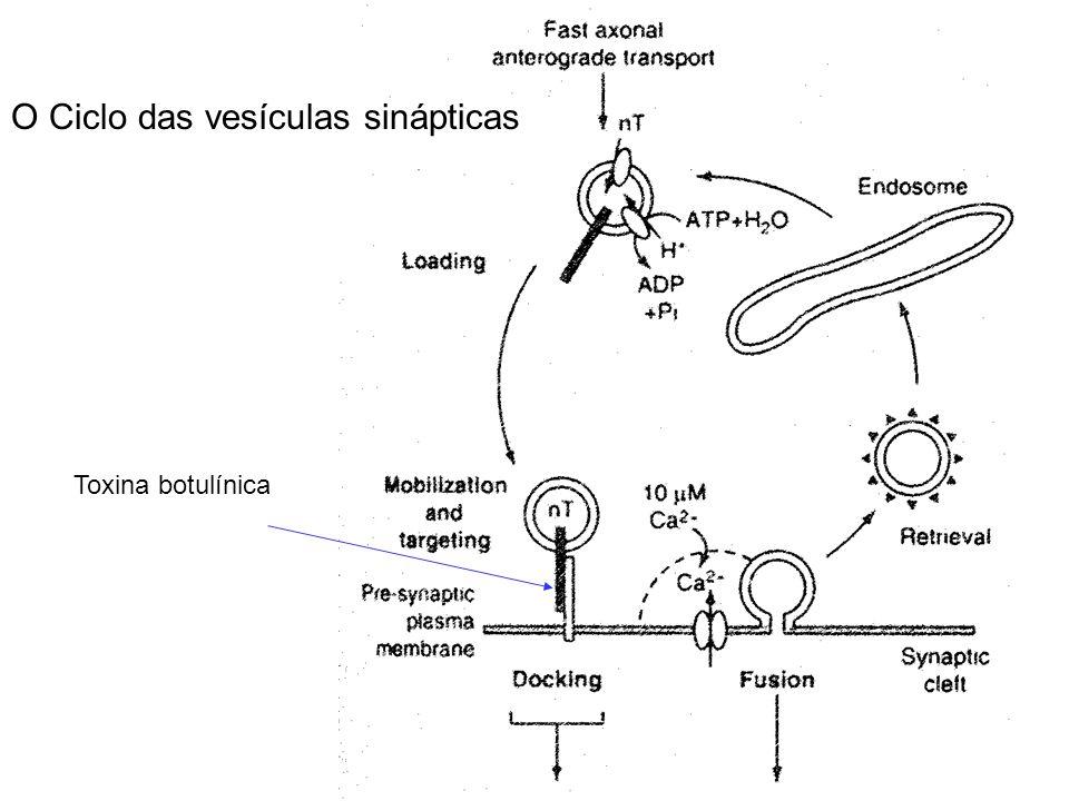O Ciclo das vesículas sinápticas