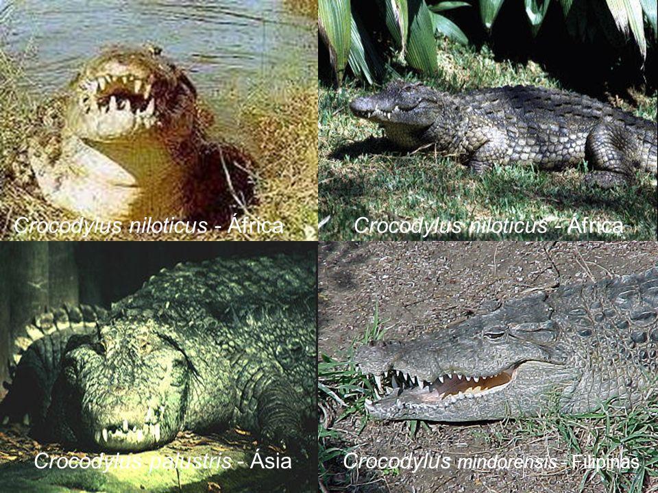 Crocodylus niloticus - África Crocodylus niloticus - África