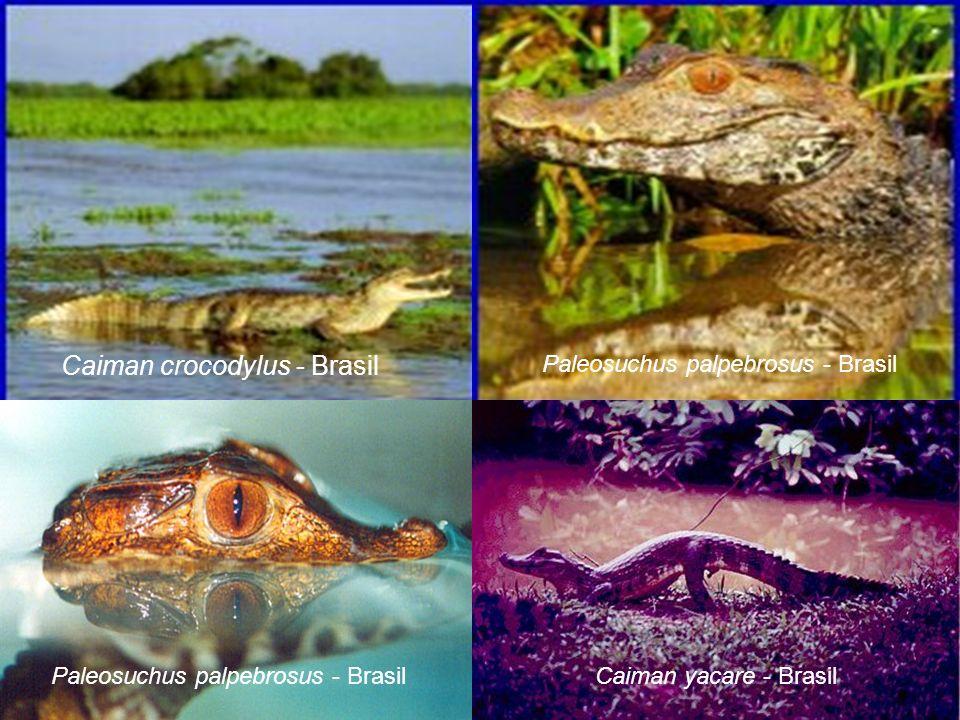 Caiman crocodylus - Brasil