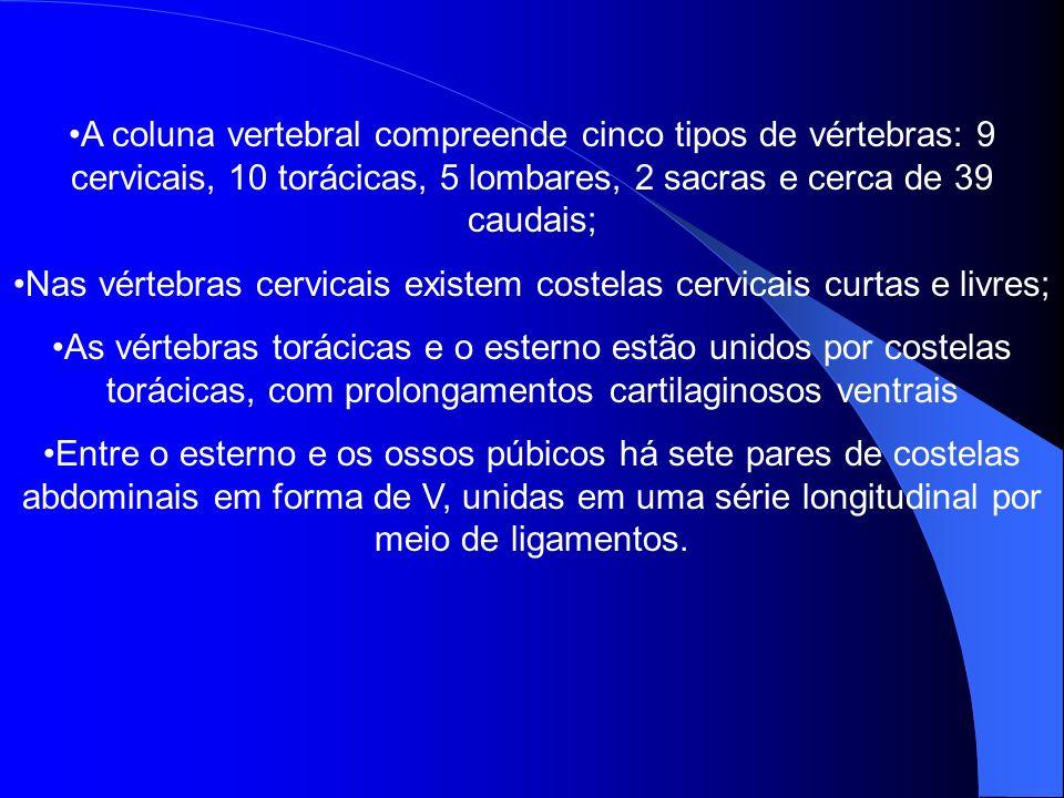 Nas vértebras cervicais existem costelas cervicais curtas e livres;