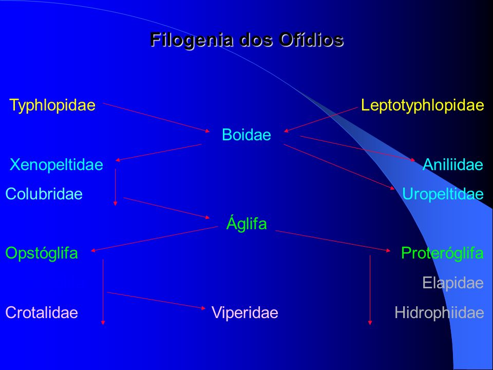 Filogenia dos Ofídios Typhlopidae Leptotyphlopidae Boidae