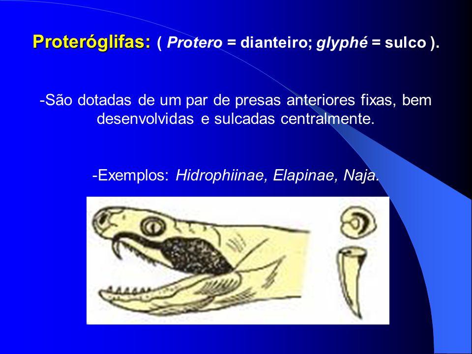 Proteróglifas: ( Protero = dianteiro; glyphé = sulco ).