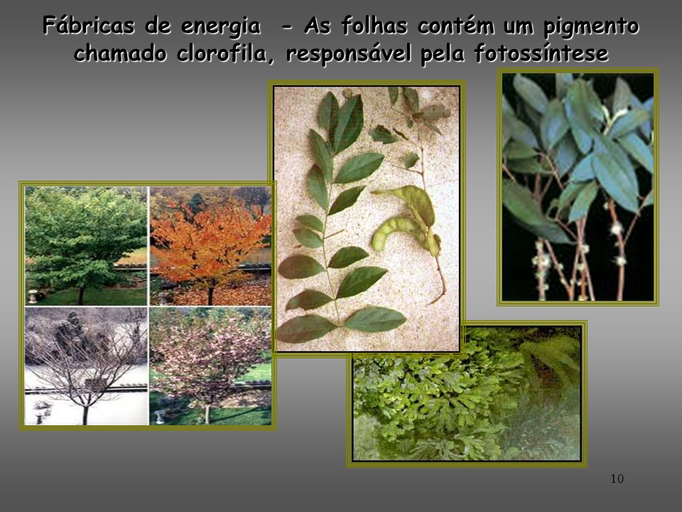 Fábricas de energia - As folhas contém um pigmento chamado clorofila, responsável pela fotossíntese