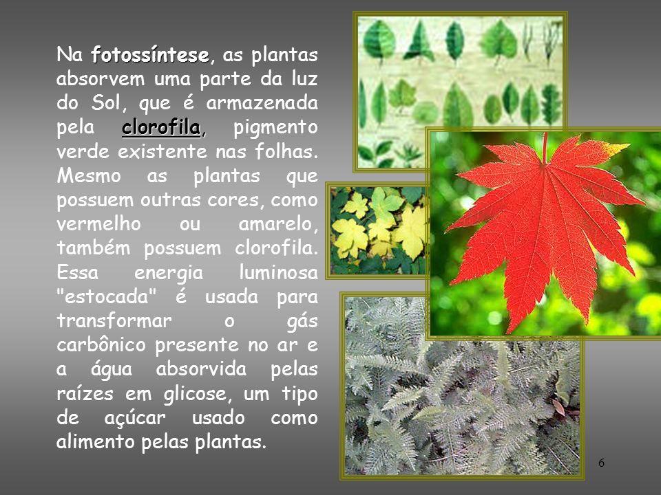 Na fotossíntese, as plantas absorvem uma parte da luz do Sol, que é armazenada pela clorofila, pigmento verde existente nas folhas.