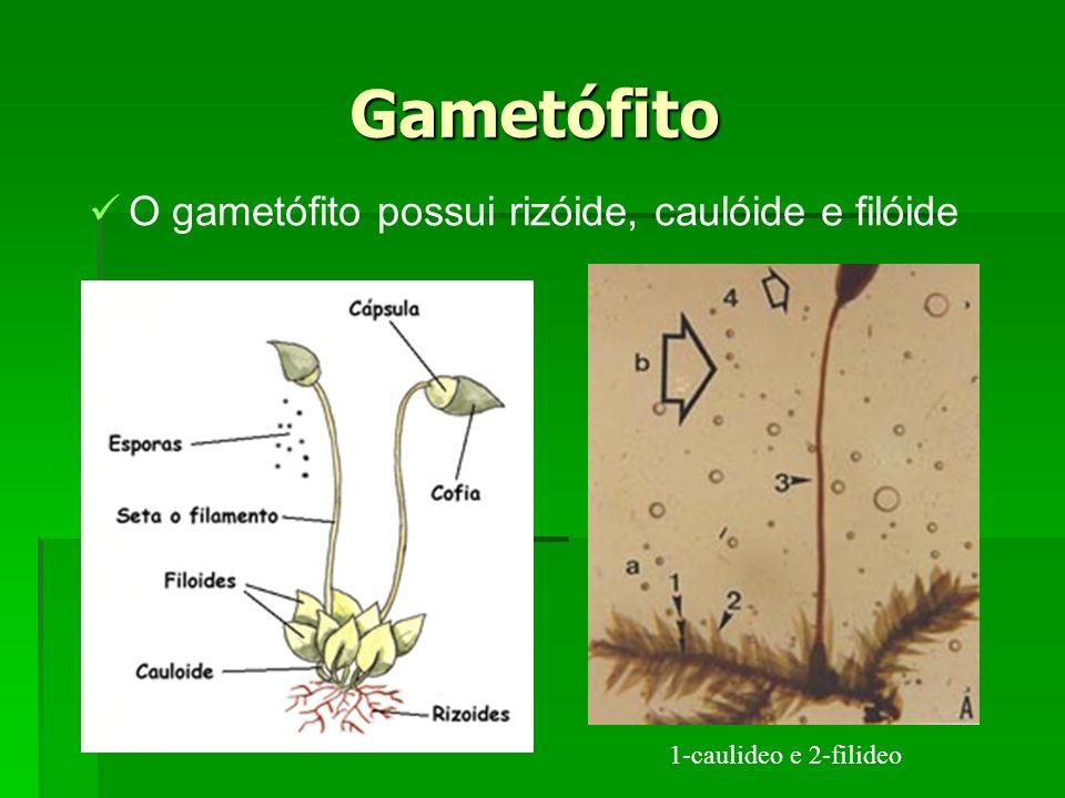 Gametófito O gametófito possui rizóide, caulóide e filóide