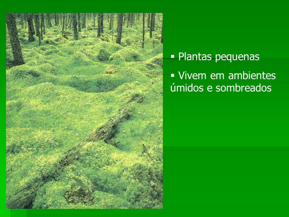 Plantas pequenas Vivem em ambientes úmidos e sombreados