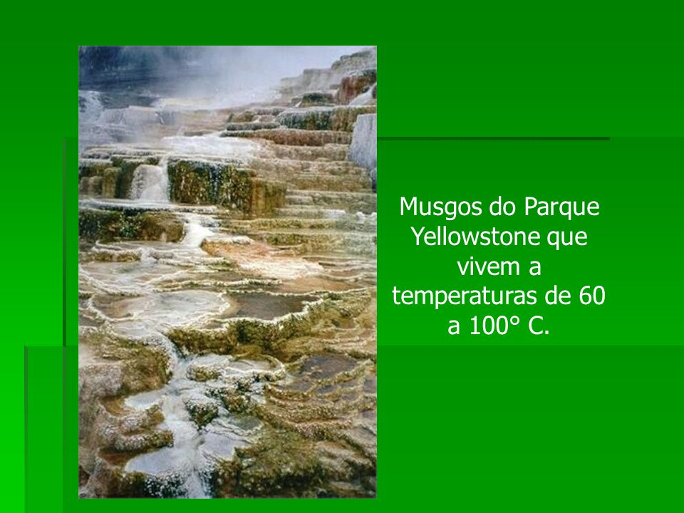 Musgos do Parque Yellowstone que vivem a temperaturas de 60 a 100° C.