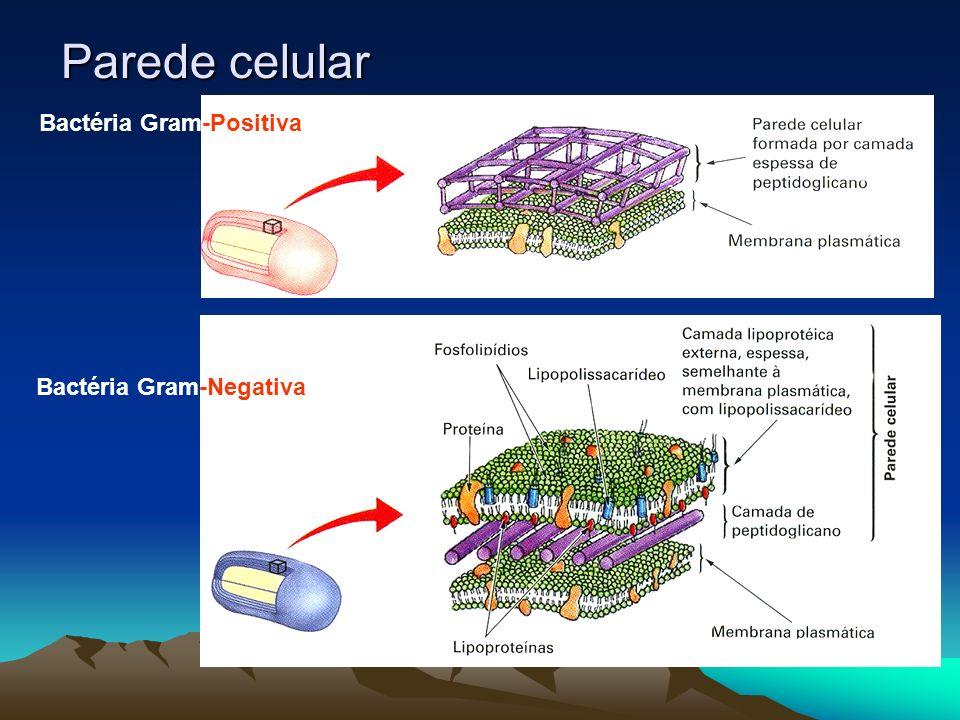 Parede celular Bactéria Gram-Positiva Bactéria Gram-Negativa