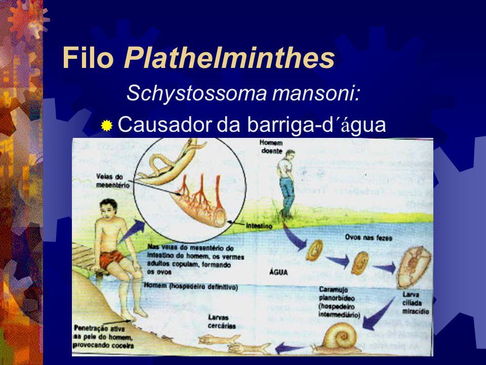 Filo Plathelminthes Schystossoma mansoni: Causador da barriga-d´água