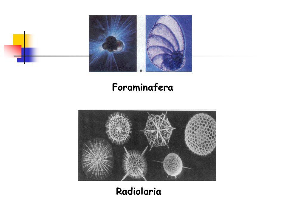Foraminafera Radiolaria