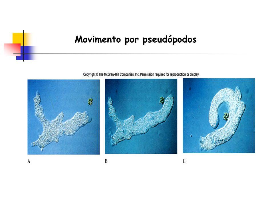 Movimento por pseudópodos