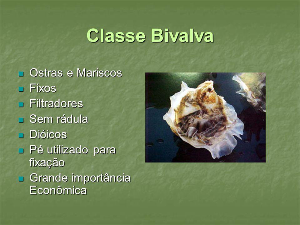 Classe Bivalva Ostras e Mariscos Fixos Filtradores Sem rádula Dióicos