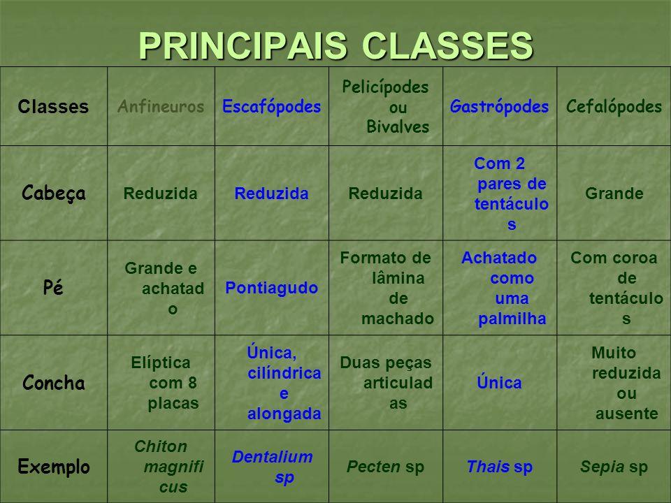 PRINCIPAIS CLASSES Classes Cabeça Pé Concha Exemplo Anfineuros