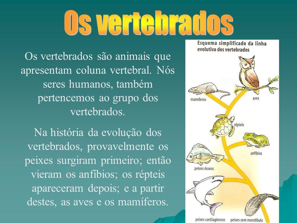 Os vertebrados Os vertebrados são animais que apresentam coluna vertebral. Nós seres humanos, também pertencemos ao grupo dos vertebrados.