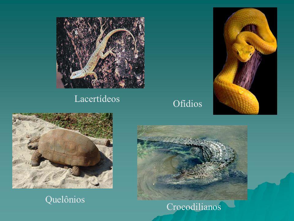 Lacertídeos Ofídios Quelônios Crocodilianos